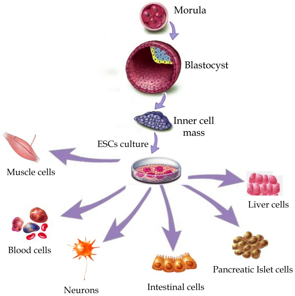 stem_cell_diff
